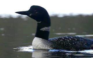 Saving Loons From A Shrinking Range